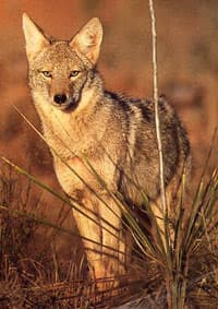 койот (Canis latrans), фото, фотография