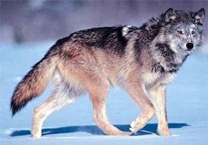 волк, серый волк, обыкновенный волк (Canis lupus), фото, фотография