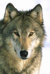 ����� ����, ���� (Canis lupus), ����, ����������