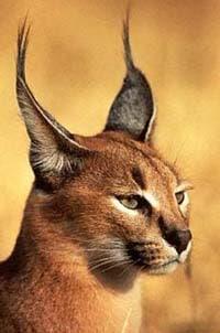 каракал, степная рысь (Felis caracal, Caracal caracal), фото, фотография