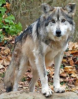мексиканский волк (Canis lupus baileyi), фото, фотография