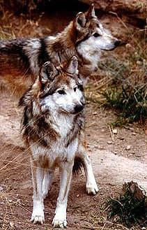 волк мексиканский (Canis lupus baileyi), фото, фотография