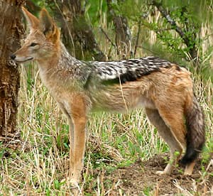 Шакал чепрачный (Canis mesomelas), фото фотография картинка рисунок.