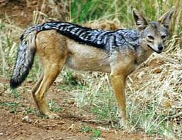 шакал чепрачный (Canis mesomelas), фото, фотография