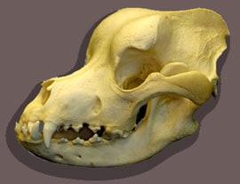 череп чепрачного шакала (Canis mesomelas), фото, фотография