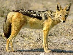 чепрачный шакал (Canis mesomelas), фото, фотография