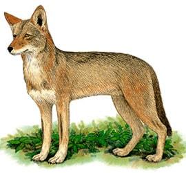 рыжий волк, красный волк (Canis rufus), рисунок