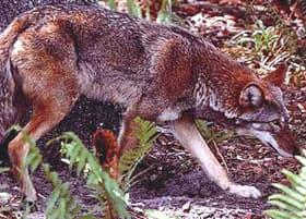 рыжий волк, красный волк (Canis rufus), фото, фотография