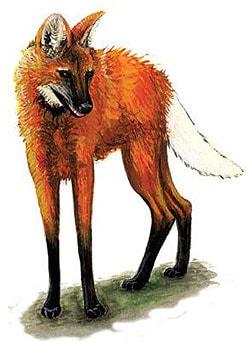 Гривистый волк, гуара, агуарачай (Chrysocyon brachyurus), рисунок картинка хищные животные