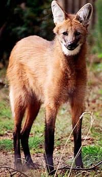 гривистый волк, гривистый волк (Chrysocyon brachyurus), фото, фотография