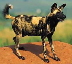 гиеновая собака, гиеновидная собака, африканская дикая собака (Lycaon pictus), фото, фотография