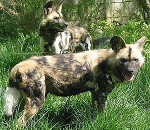 гиеновидная собака, гиеновая собака (Lycaon pictus), фото, фотография