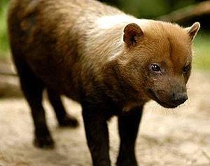 кустарниковая собака, саванная собака (Speothos venaticus), фото, фотография