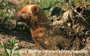 кустарниковая собака (Speothos venaticus), фото, фотография