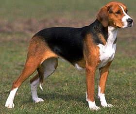 гончая собака, фото, фотография