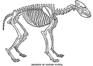 скелет пятнистой гиены (Crocuta crocuta), фото, фотография