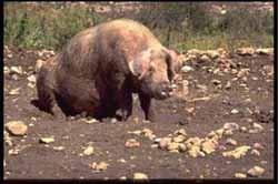 домашняя свинья, свинья домашняя, свинья, фото, фотография