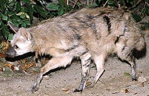 земляной волк, протел, волк земляной (Proteles cristatus), фото, фотография