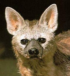 земляной волк, протел (Proteles cristatus), фото, фотография