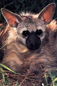 волк земляной (Proteles cristatus), фото, фотография