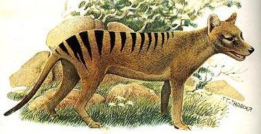 ������������ ���� (Thylacinus cynocephalus), �������� ����, �������, ��������