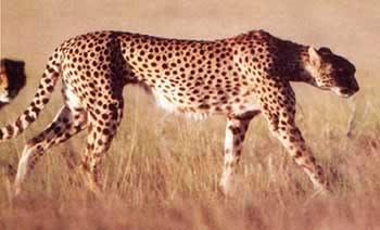 Гепард acinonyx jubatus фото фотография