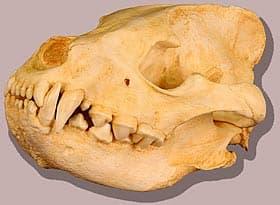 череп полосатой гиены (Hyaena hyaena), фото, фотография