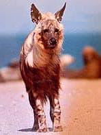 коричневая гиена, гиена коричневая (Hyaena brunnea), фото, фотография