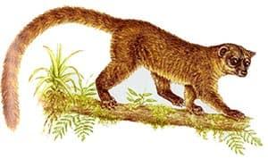олинго Габби (Bassaricyon gabbii), фото, фотография с http://www.nicholas.knowles.btinternet.co.uk