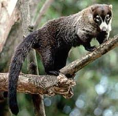 горный коати, карликовый коати (Nasuella olivacea), фото, фотография с http://www.montoutou.com