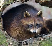енот тремарьясский, тремарьясский енот (Procyon insularis), фото, фотография с http://filin.vn.ua