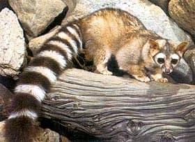 животное с полосатым хвостом фото