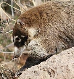 какомицли, североамериканский какомицли (Bassariscus astutus), фото, фотография с http://fireflyforest.net