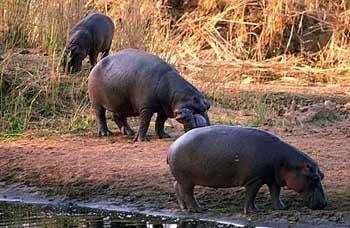бегемот, гиппопотам (Hippopotamus amphibius), фото, фотография