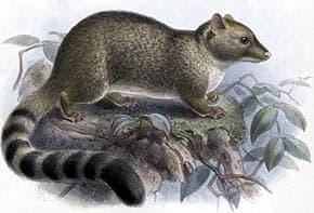 центральноамериканский какомицли (Bassariscus sumichrasti), фото, фотография с http://www.bio-nica.info