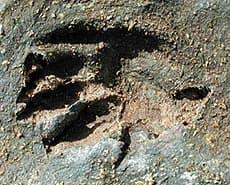 следы козумельского енота (Procyon pygmaeus), фото, фотография с http://oikos.villanova.edu