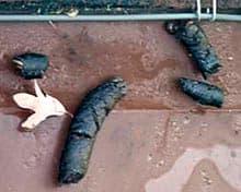 фекалии енота-полоскуна (Procyon lotor), фото, фотография с http://icwdm.org