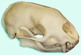 череп восточно-мексиканского скунса (Conepatus leuconotus), фото, фотография с http://skullsunlimited.com