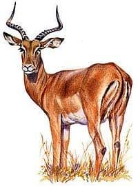 импала, чернопятая антилопа (Aepyceros melampus), фото, фотография с http://assets.espn.go.com