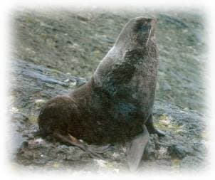 северный морской котик (Callorhinus ursinus), фотография фото