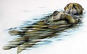 калан, морской бобр, морская выдра (Enhydra lutris), фото, фотография с http://dkimages.com