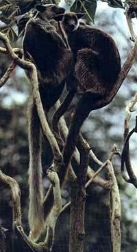 древесные кенгуру, фото, фотография