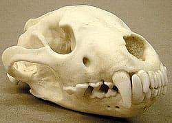 череп росомахи (Gulo gulo), фото, фотография с http://boneroom.com