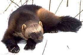 росомаха (Gulo gulo), фото, фотография с http://bss.sfsu.edu/