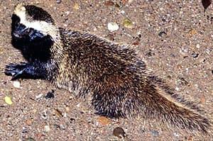 гризон малый (Galictis cuja), фото, фотография с http://ra-bugio.org.br