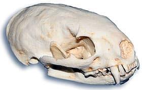 череп малого гризона (Galictis cuja), фото, фотография с http://skullsunlimited.com/