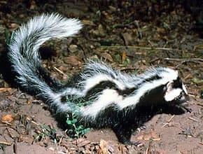 зорилла (Ictonyx striatus), фото, фотография с http://animalpicturesarchive.com/