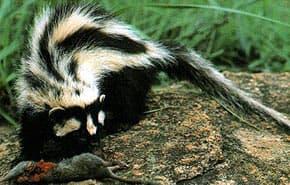 зорилла (Ictonyx striatus), фото, фотография с http://itech.pjc.edu/