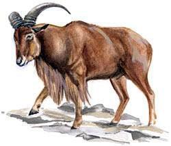 гривистый баран, баран гривистый (Ammotragus lervia), фото, фотография с http://assets.espn.go.com/