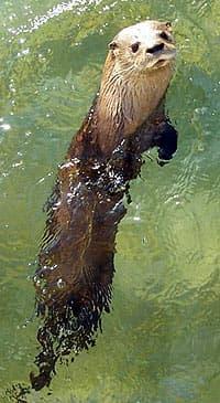 южноамериканская выдра (Lontra longicaudis, Lutra incarum), фото, фотография c http://lh3.google.com